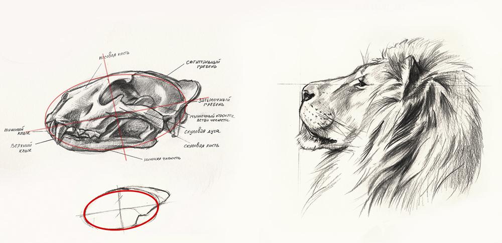 Анатомия головы льва. Часть 1: Профиль